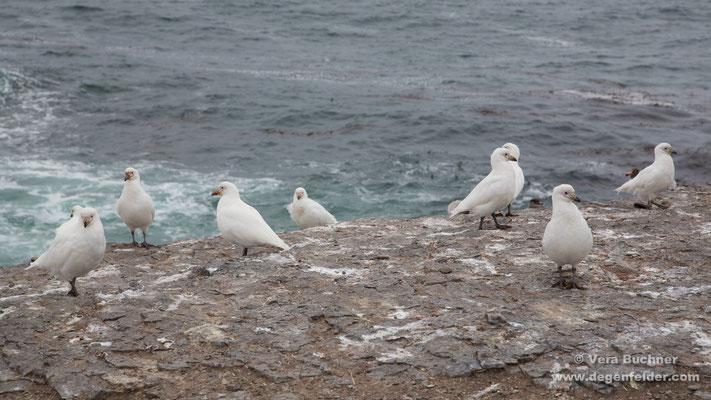 Weißgesicht-Scheidenschnabel