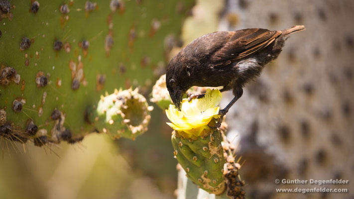 Kaktus-Grundfink