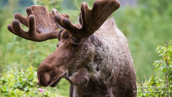 Alaska-Elch