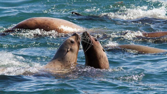 Stellerscher Seelöwe