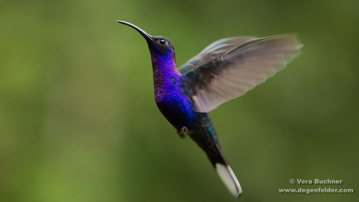 Violettdegenflügel