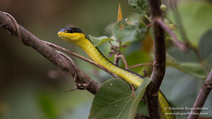 Gemeine Baumschlange