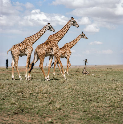 Masai giraffes at Masai Mara