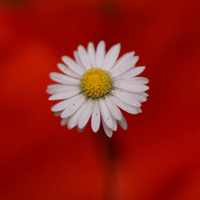 Gänseblümchen im Mohnmantel
