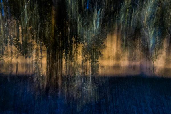 mystic olive tree