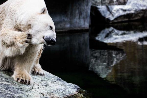 ice bearli