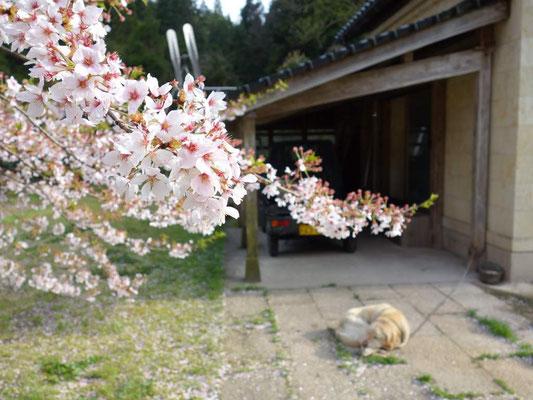 能登さか本の桜とワンちゃん