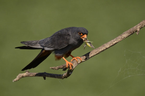 Faucon Kobez mâle  (Plaine de la Puszta-Hongrie)