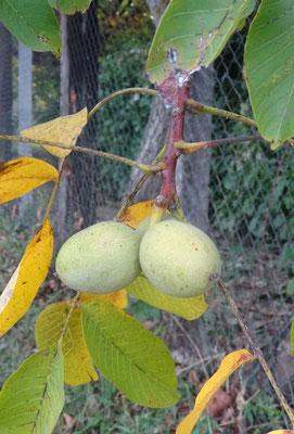サンシルラポピー  胡桃