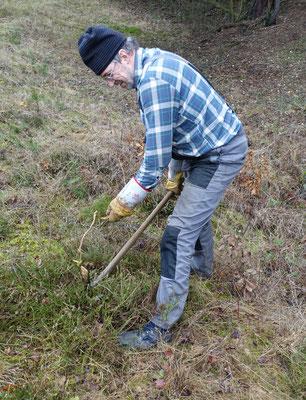 Bis zu 40 cm reichen die Wurzeln in den Boden. Das Herausziehen ist oft eine Plackerei.