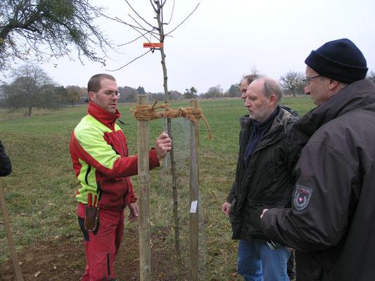 Mirko Franz von der benachbarten Ortsgruppe Bad Nauheim zeigt das fachmännische Anbinden des Setzlings an zwei Pfähle.