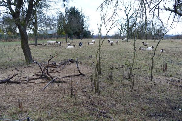 """Schafe und ein Ziegenbock im Streuobstgebiet """"Am Wingert"""""""