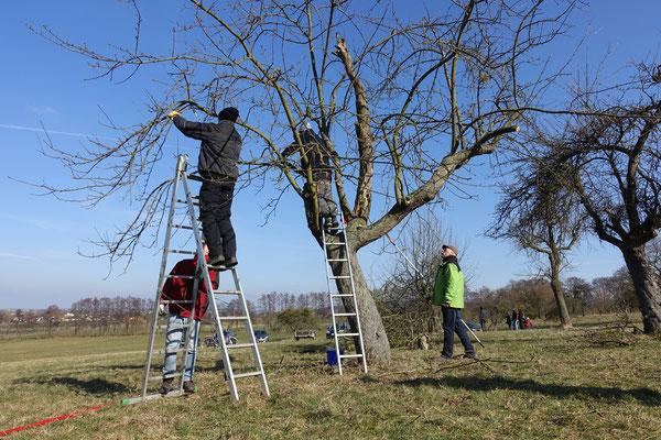 Wenn Leitäste fehlen und die Grundstruktur unvollständig ist, kann durch richtigen Schnitt die Lebenserwartung des Baums gesteigert werden.