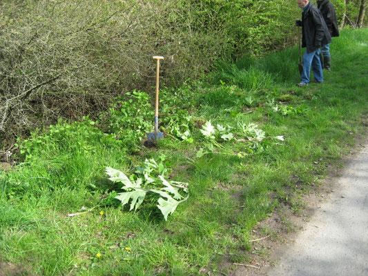 Ausgemachte Riesen-Bärenklau-Pflanzen ohne Samenstand können vor Ort verrotten.