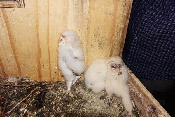 02.07.: 3 Schleiereulen-Küken. Unklar der Verbleib der vierten Jungeule. Hat sie schon eigenständig das Nest verlassen?