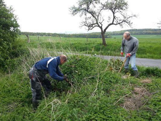 In der Nähe der Raststätte Wetterau-Ost: mühsame Bekämpfung des Staudenknöterichs auf einem Erdhaufen.