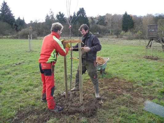 Bei der Verwendung von zwei Pfählen ist die Fixierung des Baums recht aufwändig