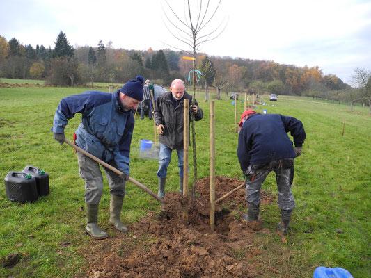 Der Baum ist beim Einpflanzen so zu positionieren, dass sich die Veredelungsstelle einige Zentimeter über dem Boden befindet