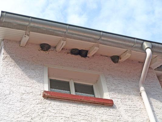 Vier intakte Nester auf der Hofseite