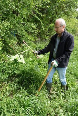 Vorsicht beim Anfassen der Pflanzen! Verätzungsgefahr - deshalb Handschuhe tragen.