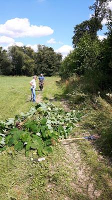 Ober-Mörlen Usatal: Zur Blüte wird der Staudenknöterich nicht mehr kommen, aber unter der Erde ist die Pflanze noch da!