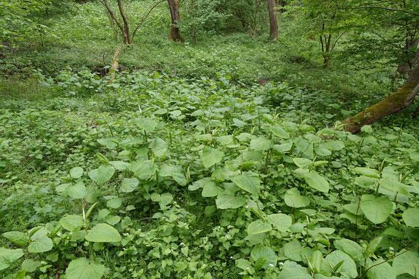 Flächiger Bewuchs mit dem japanischen Staudenknöterich im Wald (Schiefertälchen)