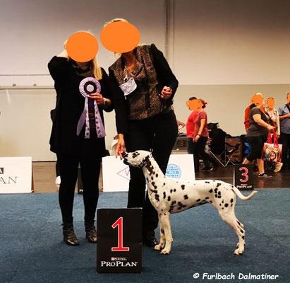 Liz Taylor vom Furlbach LUA auf der Ausstellung  in Dortmund erhielt ein V1 JCAC Tagesbester Junghund und dar sich nun Bundesjugendsiegerin 2019 nennen...13.10.2019...