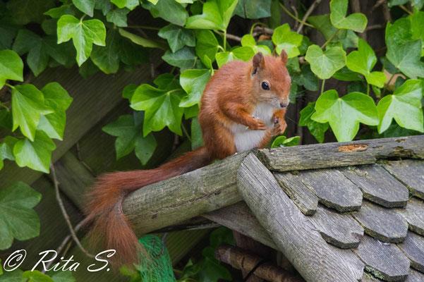 Juni 2015 - hungriges Eichhörnchen auf einem Vogelhaus....