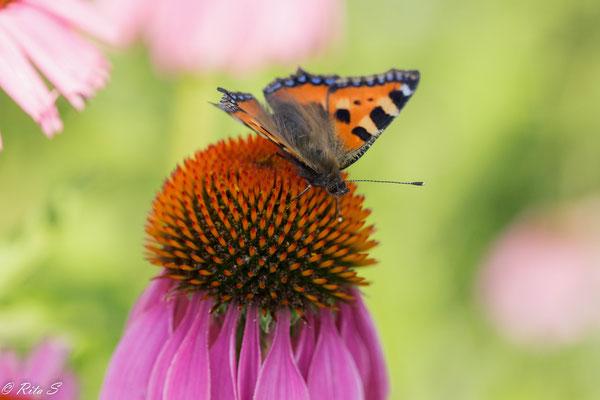 """Schmetterling """"Kleiner Fuchs"""" auf Echinacea"""
