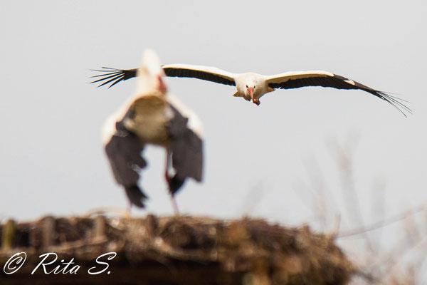 ..und noch ein Versuch einer Störchin, das Nest zu erreichen...