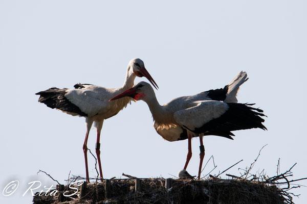 Seine stolzen Eltern wechseln sich bei der Nahrungssuche ab und selten sieht man beide zusammen auf dem Nest...