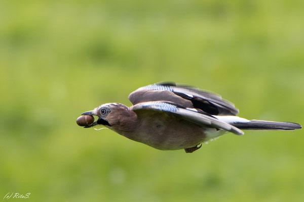 .. Eichelhäher fliegt mit Eichel im Schnabel fort...