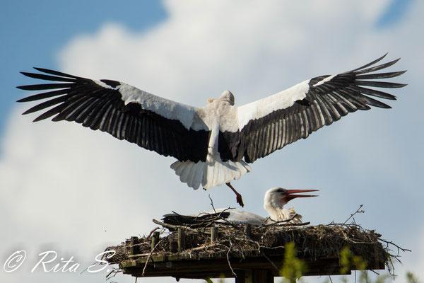 Landung im Nest während der Brutzeit
