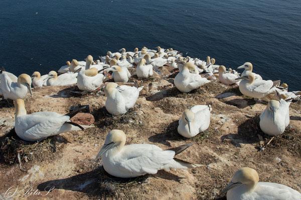Dicht an dicht sitzen die Basstölpel am Felsen auf ihren Eiern