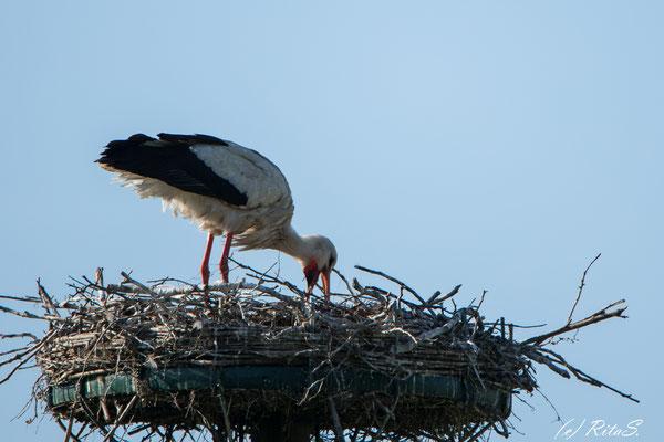 ...und gibt dieses ins Nest.