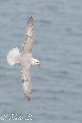 Eissturmvogel auf der Insel Helgoland