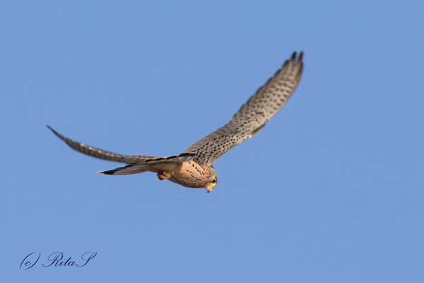 Turmfalke Männchen, im Rüttelflug