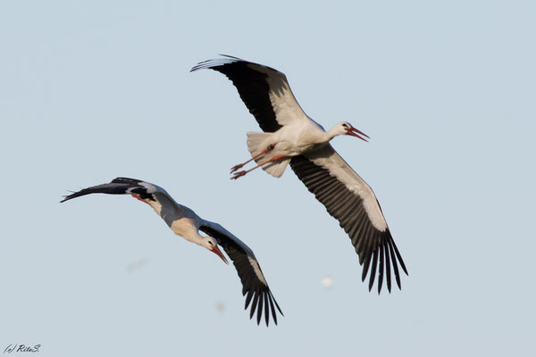 ..dann fliegen beide wieder gemeinsam durchs Revier....