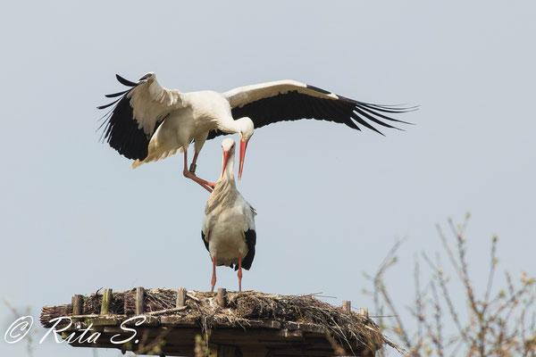 .sind beide Beine hoch, muss er Balance finden, wozu er mit den Flügeln schlägt