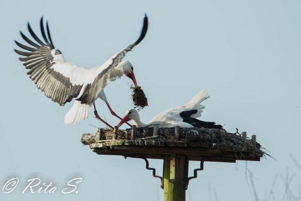 Storch Max kommt und bringt MAterial für das Nest mit...