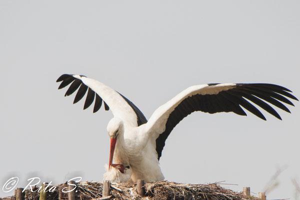 Das Besteigen der Störchin erfolgt nicht nur zum Paarungsakt sondern dient auch der Vertiefung der Bindung zueinander..