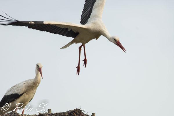 ..aber lange zu zweit oben im Nest ist auch langweilig, Absprung zur letzten Runde des Tages.