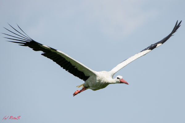 Und Papa-Storch fliegt wieder los