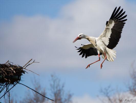 STORCH 7T308 im Anflug aus das Nest