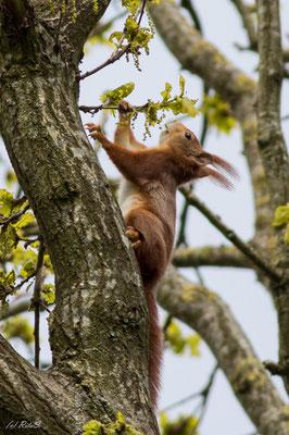 Sogar solche Momente, in denen das Eichhörnchen die frischen Samen vom Baume knabbert.