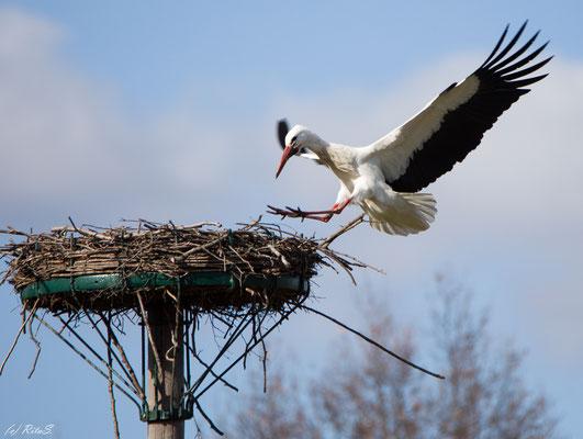 Storch DEW7T308 landet in seinem Nest