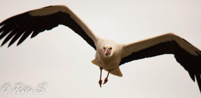 Zielstrebiger Anflug auf das Nest...