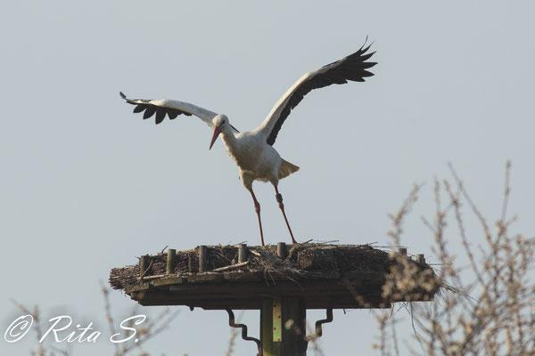 Kurzer Ausflug, Absprung vom Nest..