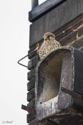 Turmfalke - Weib auf der Nist-/Bruthöhle. Sie gibt kräftige Ruflaute von  sich, wenn das Männchen in der Nähe ist.