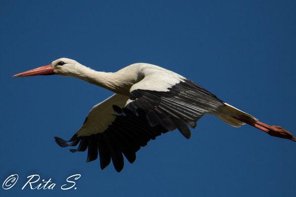 was für ein Bild - der Storch im Flug